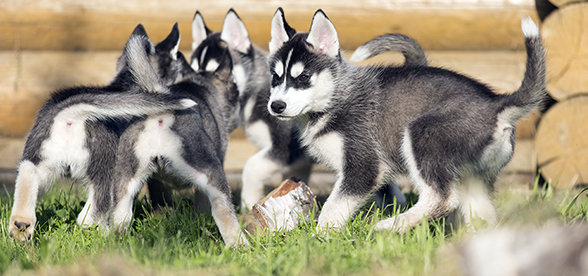 Siberian Husky Dog Origin And History