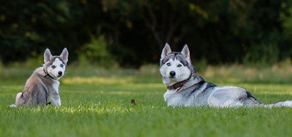 Siberian Husky Dog Temperament And Training