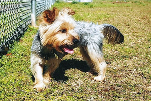 Silky Terrier Dog Breeds