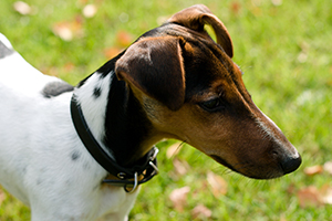 Smooth Fox Terrier Dog Breeds