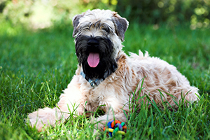 Soft Coated Wheaten Terrier Dog Breeds