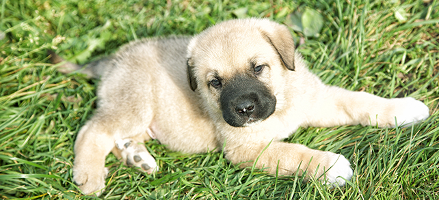 Spanish Mastiff Dog Breed