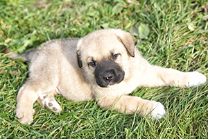 Spanish Mastiff Dog Breeds