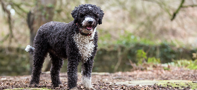 Spanish Water Dog Breed