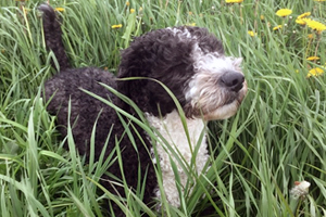 Spanish Water Dog Breeds