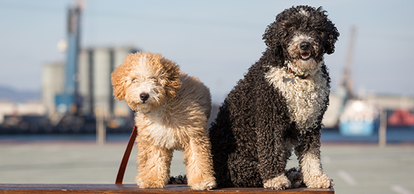 Spanish Water Dog Exercise And Personality