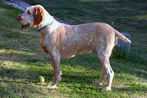 Spinone Italiano Dog Breeds