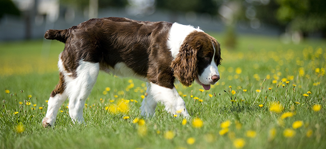 The Definitive Guide To English Springer Spaniel Dogs