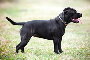 Staffordshire Bull Terrier Dog Breeds