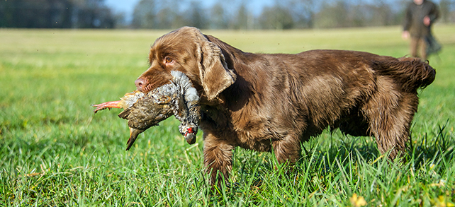 The Definitive Guide To Sussex Spaniel Dogs