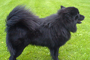 Swedish Lapphund Dog Breeds
