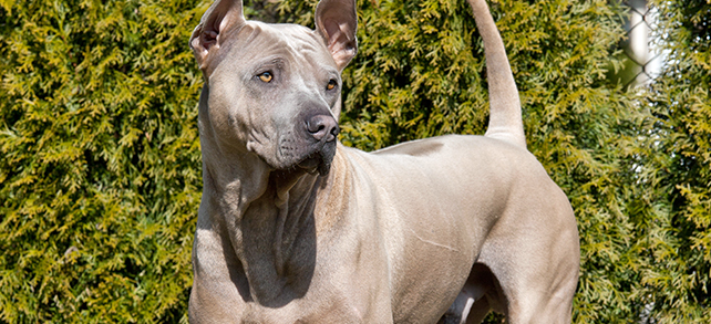 The Definitive Guide To Thai Ridgeback Dogs