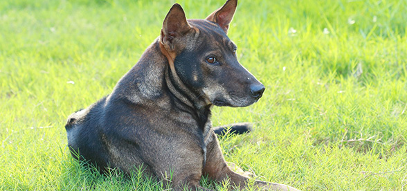Thai Ridgeback Facts Characteristics