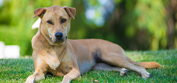 Thai Ridgeback Health Problems Lifespan