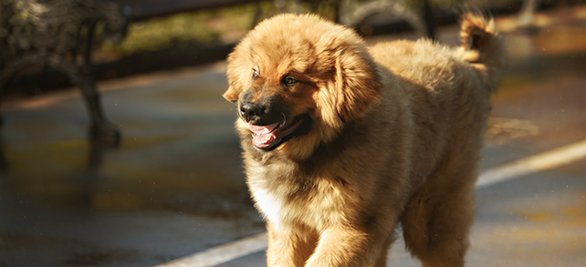 The Definitive Guide To Tibetan Mastiff Dogs