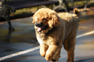Tibetan Mastiff Dog Breeds