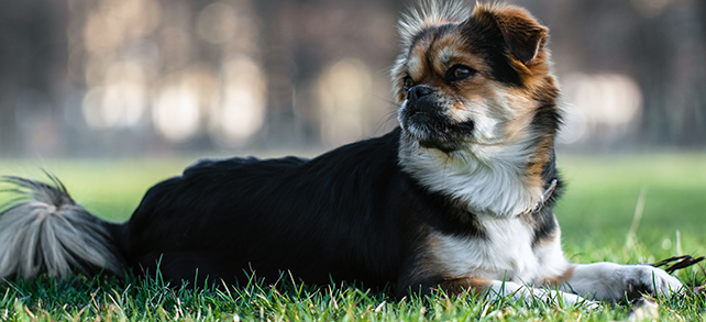 The Definitive Guide To Tibetan Spaniel Dogs
