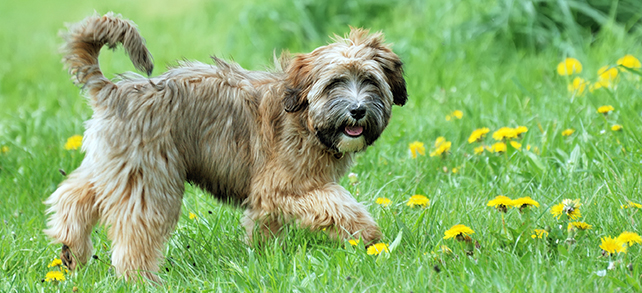 The Definitive Guide To Tibetan Terrier Dogs