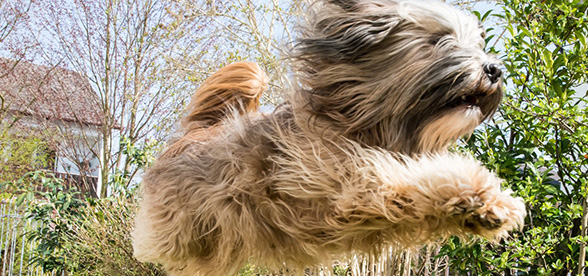Tibetan Terrier Facts Characteristics