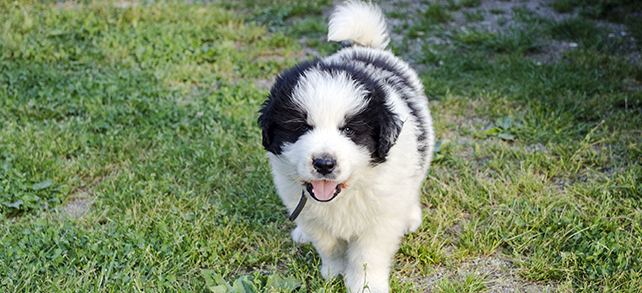Tornjak Dog Breed