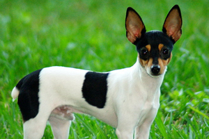 Toy Fox Terrier Dog Breeds