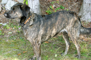 Treeing Tennessee Brindle Dog Breeds