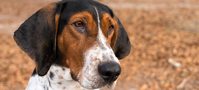 The Definitive Guide To Treeing Walker Coonhound Dogs