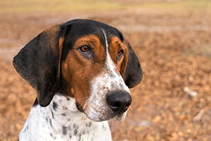 Treeing Walker Coonhound Dog Breeds