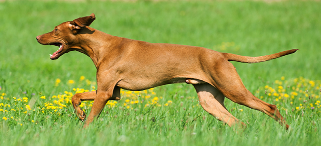 The Definitive Guide To Vizsla Dogs