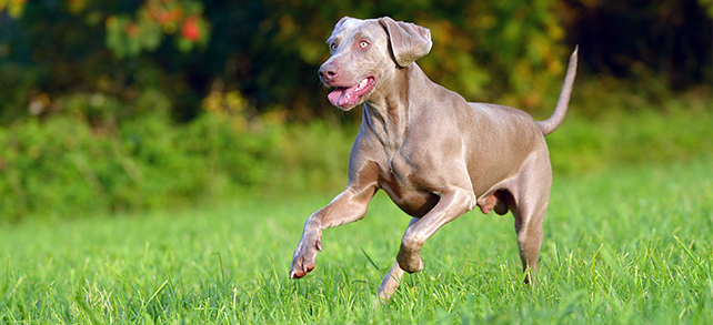The Definitive Guide To Weimaraner Dogs