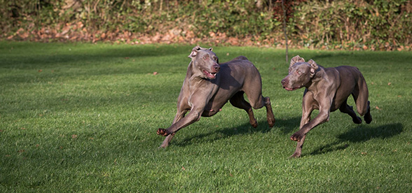 Weimaraner Health Problems Lifespan
