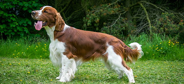Welsh Springer Spaniel Dog Breed