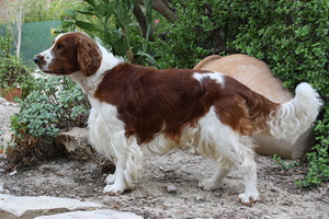 Welsh Springer Spaniel Dog Breeds