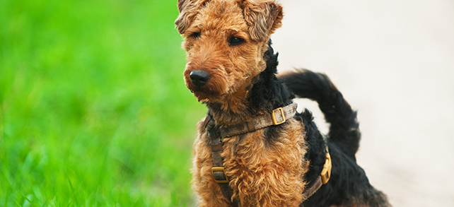 The Definitive Guide To Welsh Terrier Dogs