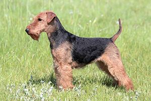 Welsh Terrier Dog Breeds