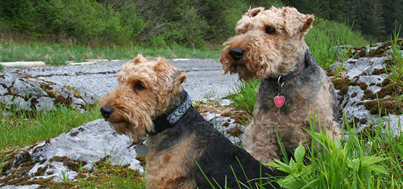 Welsh Terrier Dogs 101