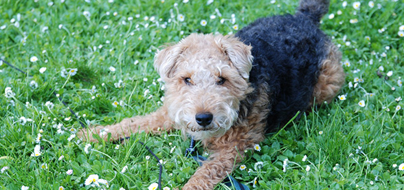 Welsh Terrier Health Problems Lifespan