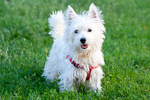 West Highland White Terrier Dog Breeds