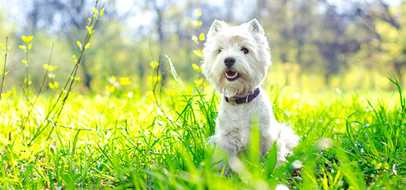 West Highland White Terrier Dogs 101
