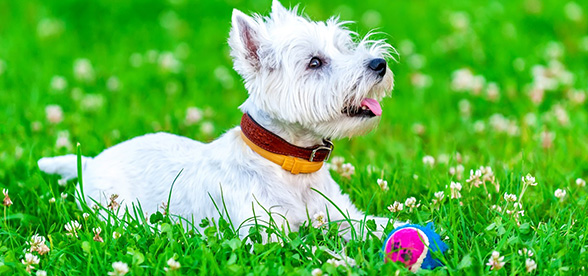 West Highland White Terrier Exercise Personality