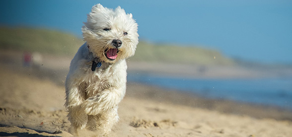 West Highland White Terrier Facts Characteristics