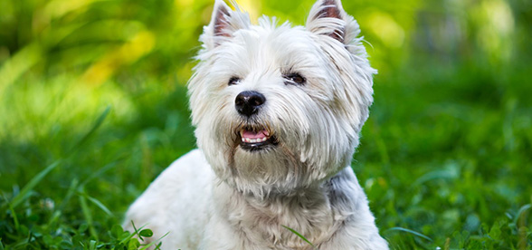 West Highland White Terrier Food Diet Feeding