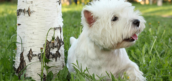 West Highland White Terrier Health Problems Lifespan