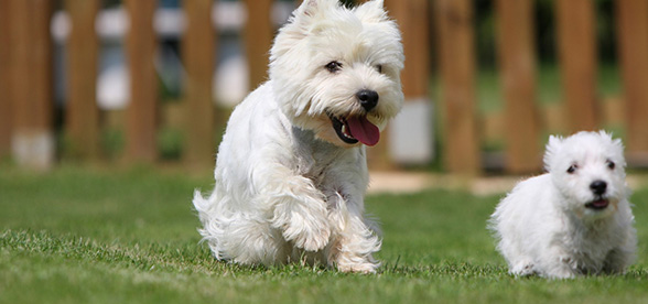 West Highland White Terrier Temperament Training