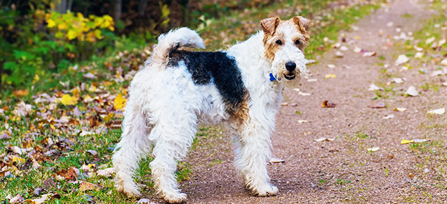 The Definitive Guide To Wire Fox Terrier Dogs