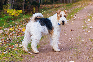 Wire Fox Terrier Dog Breeds