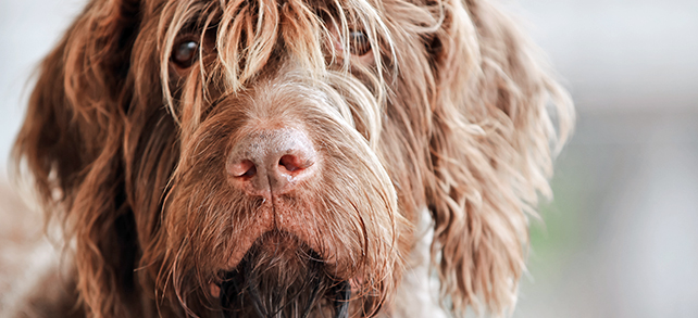 Wirehaired Pointing Griffon Dog Breed