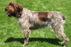 Wirehaired Pointing Griffon Dog Breeds