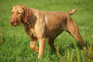 Wirehaired Vizsla Dog Breeds