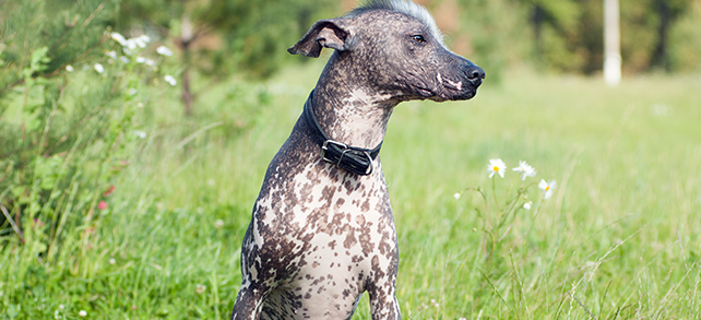 The Definitive Guide To Xoloitzcuintli Dogs